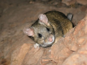 Bushytailed_Woodrat