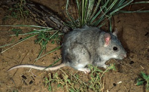 s_plains_woodrat_21717